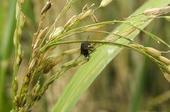 Parásitos del arroz Imagenes de archivo