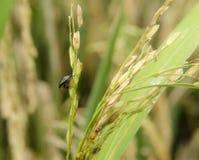 Parásitos del arroz Fotografía de archivo libre de regalías