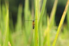 Parásitos del arroz Imagen de archivo