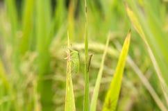 Parásitos del arroz Fotografía de archivo
