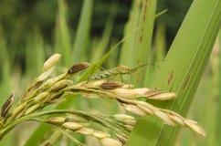 Parásitos del arroz Imagen de archivo libre de regalías
