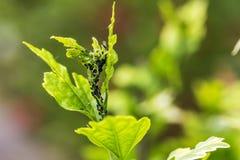 Parásitos, enfermedades vegetales Primer del áfido en una planta fotos de archivo