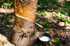 Parà ¡ gumowy drzewo zdjęcie stock