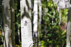Par Aspen Grove images stock