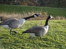 Par av änder på Parc Blom- de Vincennes - Frankrike Fotografering för Bildbyråer