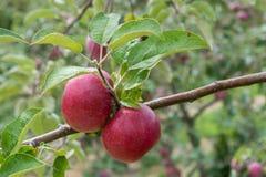 Par av äpplen i fruktträdgård royaltyfri foto