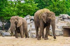 Par av afrikanska elefanter tillsammans, sårbar djur specie från Afrika royaltyfria bilder