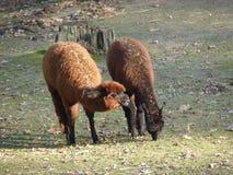 Par av alpacas Arkivfoto