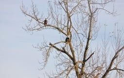 Par av amerikansk skalliga Eagles jakt arkivfoton
