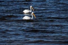 Par av amerikanska vita pelikan Arkivfoton