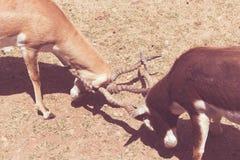 Par av antilop omkring som ska slåss arkivfoto