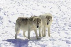 Par av arktiska varger Arkivbilder