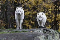 Par av arktiska varger i en nedgång, skogmiljö Royaltyfri Bild