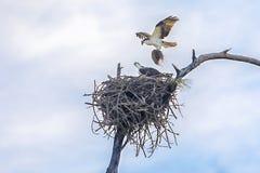 Par av att bygga bo Ospreys, Seahawks som bygger ett rede arkivbilder
