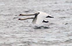 Par av att flyga för stumma svanar arkivbild