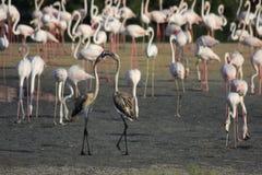 Par av att leka unga flamingos Arkivbilder