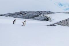 Par av att para ihop gentoopingvin i Antarktis Royaltyfria Bilder