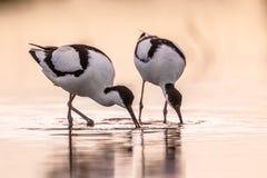 Par av att söka efter föda den pied avoceten arkivfoto