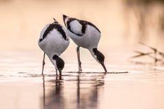 Par av att söka efter föda den pied avoceten arkivbild