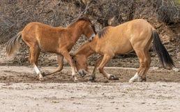 Par av att slåss för vildhästar Arkivfoto