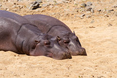 Par av att vila för flodhästar Royaltyfri Fotografi