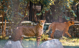 Par av att vila för geparder Arkivbilder