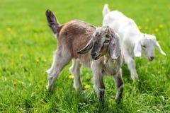 Par av behandla som ett barn getungar på vårgräset som tillsammans spelar Royaltyfri Foto