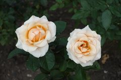 Par av beigea rosa blommor arkivfoto
