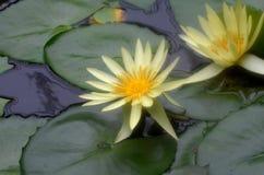 Par av blommande gula Lotus Water Lilies i en trädgård Arkivbilder