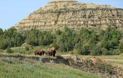 Par av buffeln Royaltyfria Foton