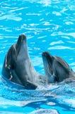 Par av delfin som dansar i ljusblått vatten arkivbilder