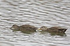 Par av den amerikanska svarta anden, Anasrubripes i vinter Royaltyfria Bilder