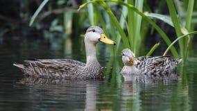 Par av den fläckiga anden på en Florida flod royaltyfri bild