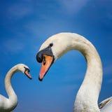 Par av den fridsamma vita svanen - stående Royaltyfri Foto