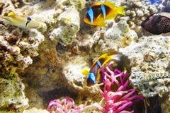 Par av den gulliga clown-fisken i busken av anemonen Arkivfoto