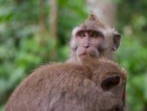 Par av den långa tailed macaquen som ansar sig Fotografering för Bildbyråer