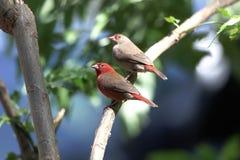 Par av den röda fakturerade firefinchesLagonosticta senegalaen Fotografering för Bildbyråer