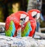 Par av den röda och gröna aran Arkivbild