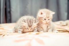 Par av den roliga brittiska cat'skattungen Fotografering för Bildbyråer