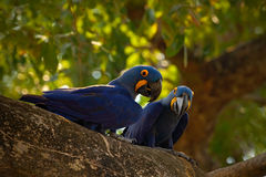 Par av den sällsynta fågeln, blått mekaniskt säga efter Hyacinth Macaw i redeträd i Pantanal, trädhålet, djuret i naturlivsmiljön royaltyfri foto