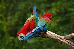 Par av den stora papegojaRöd-och-gräsplan aran, munkhättachloroptera, två fåglar som sitter på filialen, Brasilien arkivbild