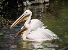 Par av den stora vita pelikan (Pelecanusonocrotalusen) Arkivbild