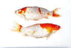 Par av dog Koi Fish på vit bakgrund som isolerades Royaltyfri Fotografi