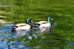 Par av Dragon Mallard Ducks Arkivbild