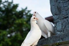 Par av duvor med förälskelse Arkivbild