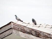 Par av duvor på det smutsiga taket Arkivfoto