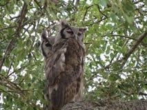 Par av Eagle Owls fotografering för bildbyråer