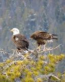 Par av Eagles överst av trädjakt royaltyfria foton