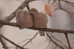 Par av eurasianen försåg med krage duvan (Streptopeliadecaocto) på en filial royaltyfria foton