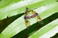 Par av exotiska fjärilar Arkivfoto